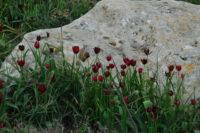 Tulipa_cypria_Deneia_CSC_2175