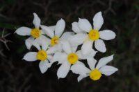Narcissus horizontal