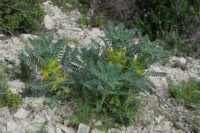Astragalus_macrocarpus_ssp_lefkarensis_CSC_0862